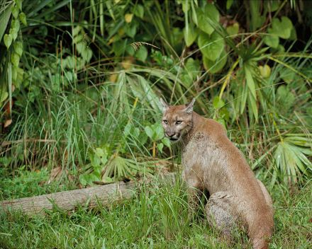 The preserve encompasses one of the last natural habitats of the Florida panther — the last big cat in the eastern United States, of which there are fewer than 100 left.